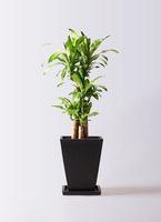 観葉植物 ドラセナ 幸福の木 8号 ノーマル パウダーストーン 黒 付き