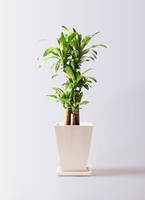 観葉植物 ドラセナ 幸福の木 8号 ノーマル パウダーストーン 白 付き