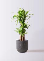 観葉植物 ドラセナ 幸福の木 8号 ノーマル カルディナダークグレイ 付き