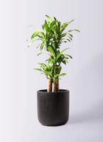 観葉植物 ドラセナ 幸福の木 8号 ノーマル エルバ 黒 付き