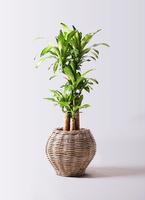 観葉植物 ドラセナ 幸福の木 8号 ノーマル グレイラタン 付き
