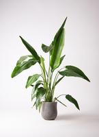 観葉植物 旅人の木 8号 アローナラウンド グレイ 付き