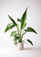 観葉植物 旅人の木 8号 アローナラウンド 白 付き