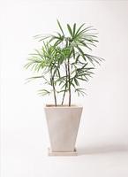 観葉植物 シュロチク(棕櫚竹) 8号 スクエアハット 白 付き
