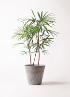 観葉植物 シュロチク(棕櫚竹) 8号 アートストーン ラウンド グレー 付き