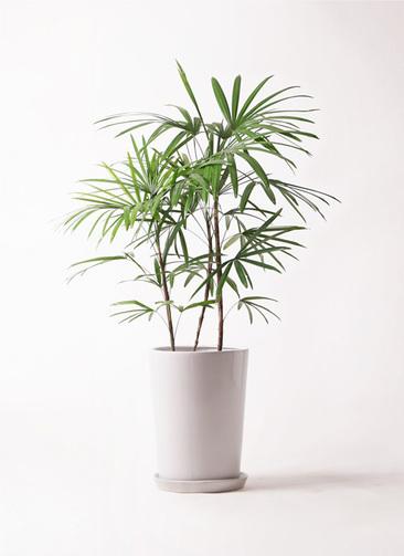 観葉植物 シュロチク(棕櫚竹) 8号 LO ラウンド 付き