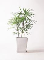 観葉植物 シュロチク(棕櫚竹) 8号 LO スクエア 付き