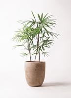 観葉植物 シュロチク(棕櫚竹) 8号 ルーガ アンティコ アルトエッグ 付き