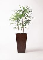 観葉植物 シュロチク(棕櫚竹) 8号 MOKU スクエア 付き