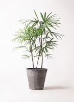 観葉植物 シュロチク(棕櫚竹) 8号 フォリオソリッド ブラックウォッシュ 付き