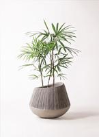 観葉植物 シュロチク(棕櫚竹) 8号 エディラウンド グレイ 付き