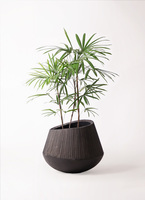 観葉植物 シュロチク(棕櫚竹) 8号 エディラウンド 黒 付き