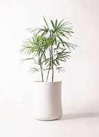 観葉植物 シュロチク(棕櫚竹) 8号 バスク ミドル ホワイト 付き