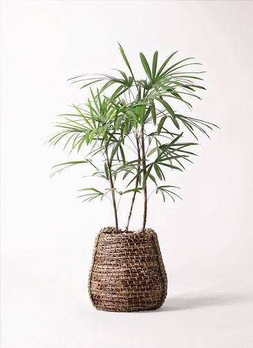 観葉植物 シュロチク(棕櫚竹) 8号 リゲル 茶 付き