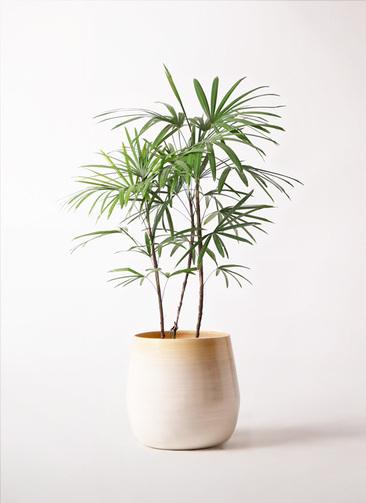 観葉植物 シュロチク(棕櫚竹) 8号 ササール 白 付き