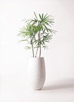 観葉植物 シュロチク(棕櫚竹) 8号 フォンティーヌトール 白 付き
