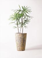 観葉植物 シュロチク(棕櫚竹) 8号 アトランティス クルーシブル 付き