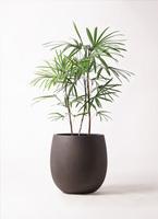 観葉植物 シュロチク(棕櫚竹) 8号 テラニアス バルーン アンティークブラウン 付き
