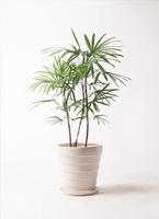 観葉植物 シュロチク(棕櫚竹) 8号 サバトリア 白 付き