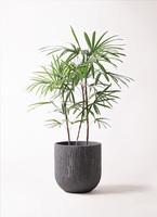 観葉植物 シュロチク(棕櫚竹) 8号 カルディナダークグレイ 付き