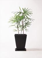 観葉植物 シュロチク(棕櫚竹) 8号 パウダーストーン 黒 付き