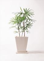 観葉植物 シュロチク(棕櫚竹) 8号 パウダーストーン 白 付き