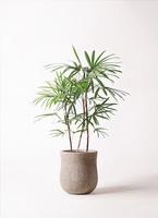 観葉植物 シュロチク(棕櫚竹) 8号 アローナラウンド ベージュ 付き