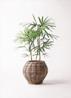 観葉植物 シュロチク(棕櫚竹) 8号 グレイラタン 付き