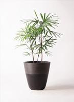 観葉植物 シュロチク(棕櫚竹) 8号 ジュピター 黒 付き