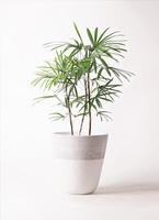 観葉植物 シュロチク(棕櫚竹) 8号 ジュピター 白 付き