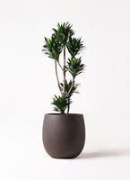 観葉植物 ドラセナ コンパクター 8号 テラニアス バルーン アンティークブラウン 付き
