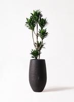 観葉植物 ドラセナ コンパクター 8号 フォンティーヌトール 黒 付き