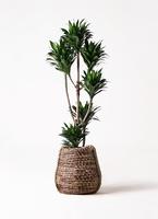 観葉植物 ドラセナ コンパクター 8号 リゲル 茶 付き