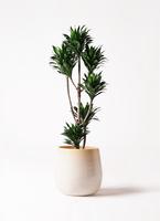 観葉植物 ドラセナ コンパクター 8号 ササール 白 付き
