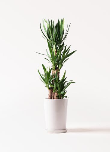 観葉植物 ユッカ 8号 ノーマル LO ラウンド 付き