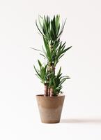観葉植物 ユッカ 8号 ノーマル アートストーン ラウンド ベージュ 付き