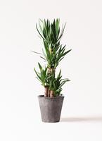 観葉植物 ユッカ 8号 ノーマル フォリオソリッド ブラックウォッシュ 付き