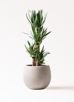 観葉植物 ユッカ 8号 ノーマル テラニアス ローバルーン アンティークホワイト 付き