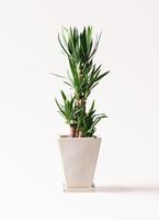 観葉植物 ユッカ 8号 ノーマル スクエアハット 白 付き