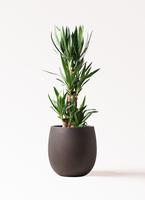 観葉植物 ユッカ 8号 ノーマル テラニアス バルーン アンティークブラウン 付き