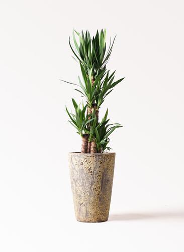 観葉植物 ユッカ 8号 ノーマル アトランティス クルーシブル 付き