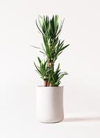 観葉植物 ユッカ 8号 ノーマル バスク ミドル ホワイト 付き