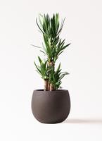 観葉植物 ユッカ 8号 ノーマル テラニアス ローバルーン アンティークブラウン 付き