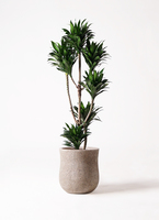 観葉植物 ドラセナ コンパクター 8号 アローナラウンド ベージュ 付き