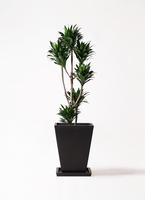 観葉植物 ドラセナ コンパクター 8号 パウダーストーン 黒 付き