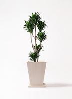 観葉植物 ドラセナ コンパクター 8号 パウダーストーン 白 付き