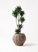 観葉植物 ドラセナ コンパクター 8号 グレイラタン 付き