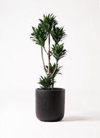 観葉植物 ドラセナ コンパクター 8号 エルバ 黒 付き
