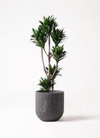 観葉植物 ドラセナ コンパクター 8号 カルディナダークグレイ 付き