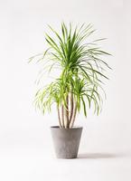 観葉植物 ドラセナ カンボジアーナ 8号 アートストーン ラウンド グレー 付き